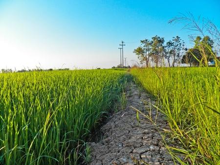 padi: Padi fields of thailand