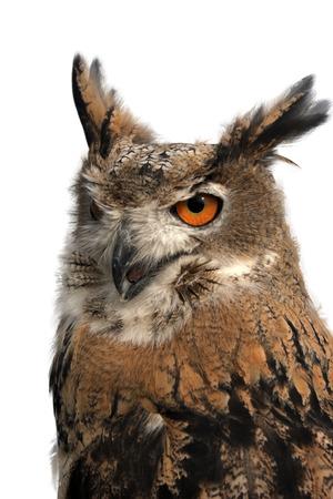 round eyes: Owl with large round eyes, on a white background