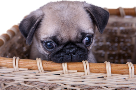 pug: the pug puppy in a basket on a white background
