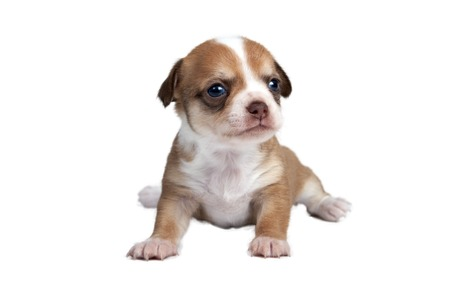 interested baby: portrait of a cute purebred puppy chihuahua in front of white background