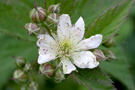 rubus: Rubus fruticosus,flower, in the garden Stock Photo