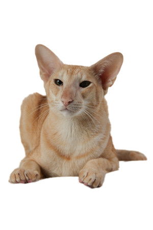 shorthair: Close-up of an Oriental Shorthair looking at camera against white background