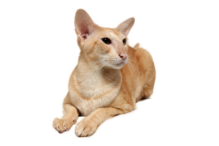 blue siamese cat: Close-up of an Oriental Shorthair looking at camera against white background