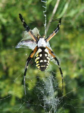 arachnoid: Spider who just caught a prey Stock Photo