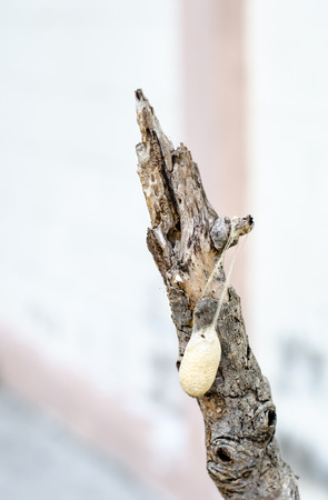 silkworm: Close up cocoon on old branch Stock Photo