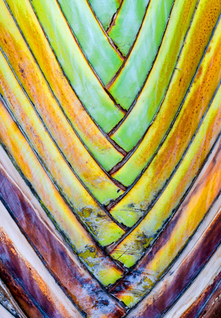 Close up - Leaf bases on a Travelers Palm (Ravenala madagascariensis) photo