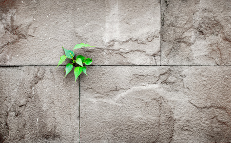 pipal: pipal leaf growing through crack in old sand stone wall,survival concept.