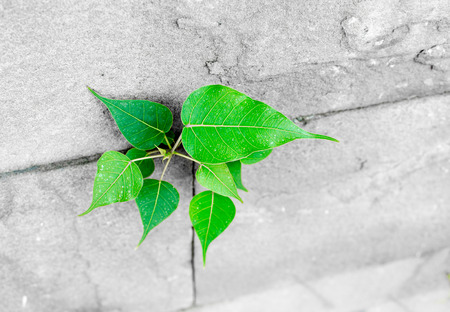 subsist: pipal leaf growing through crack in old sand stone wall,survival concept.