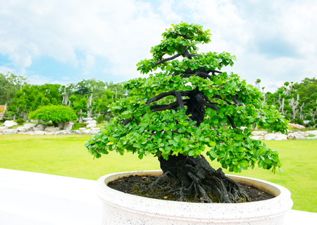 Bonsai in garden photo