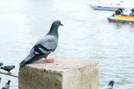 group of pigeon at pier in city. Stock Photo