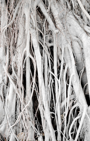 Old banyan texture,Nature background. photo