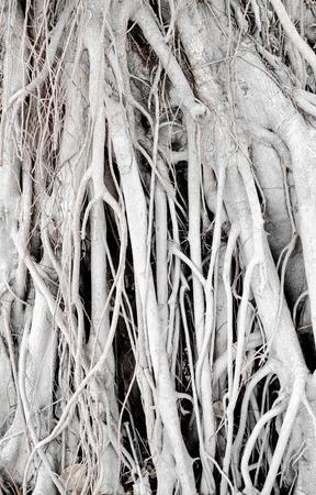 banyan: Old banyan texture,Nature background.