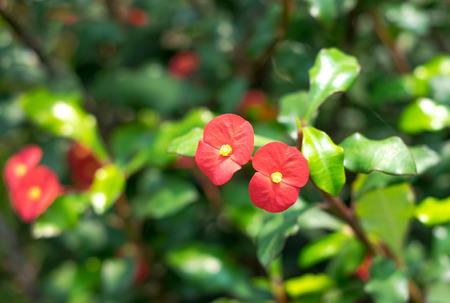 Crown of thorns flower in garden. photo