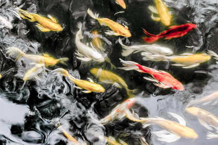 Koi fish in pond,colorful natural background. Stock Photo