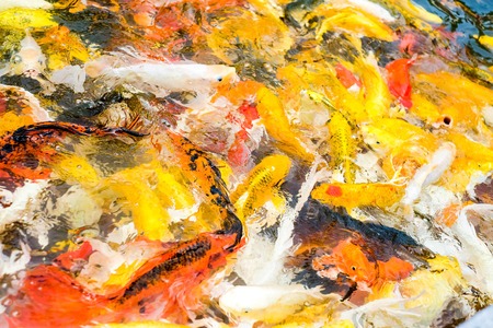 Koi fish in pond,colorful natural background. photo