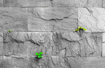 subsist: pipal leaf growing through crack in old sand stone wall, survival concept.