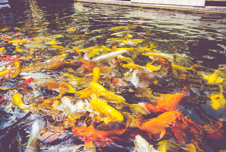 symbolize: vintage filter  Crowd of Koi fish in pond,colorful natural background,Koi is symbolize good luck and fortune
