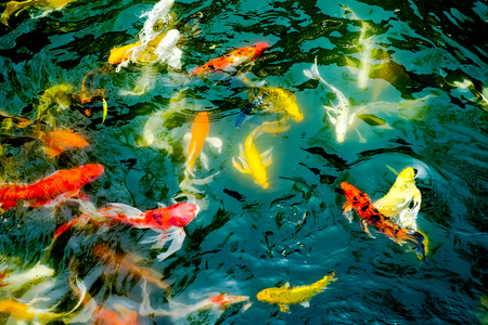 symbolize: vintage filter : Crowd of Koi fish in pond,colorful natural background,Koi is symbolize good luck and fortune Stock Photo