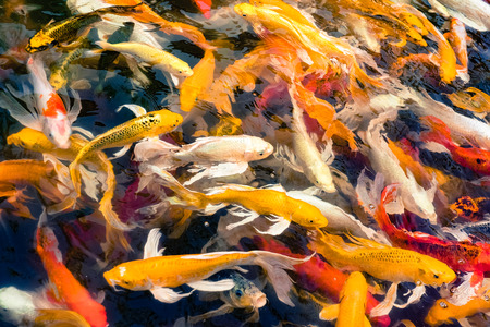 symbolize: Crowd of Koi fish in pond,colorful natural background,Koi is symbolize good luck and fortune. Stock Photo