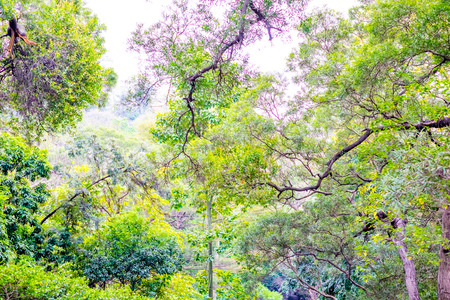tree canopy: looking up at green tree canopy.
