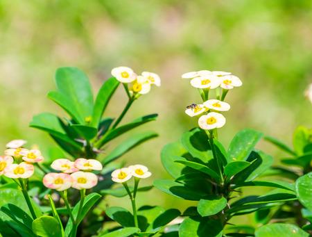 flower thorns: Close up  Crown of thorns flower with blur garden background.