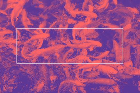 duo tone: Empty white frame on pink and purple duo tone of koi fish in pond, Mock up for adding your text. Stock Photo