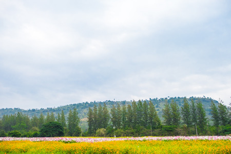yellow flower tree: Yellow flower field with pine tree and mountain and sky Stock Photo