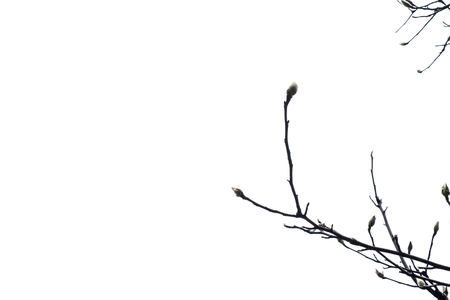 copy sapce: silhouette of tree branch with white background, leave space for adding text.