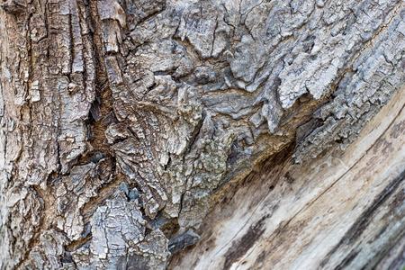 Close up große Baumrinde Textur Hintergrund, natürlichen Hintergrund. Standard-Bild