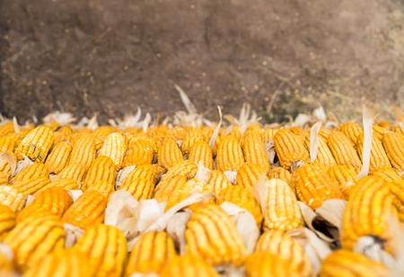 yellow corn: Looking down at Yellow corn wall. Stock Photo