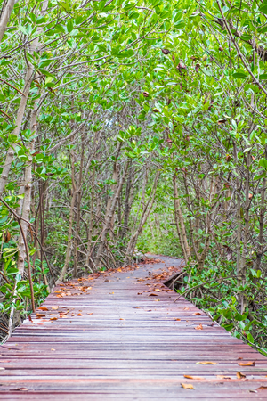 perspectives: Wood boardwalk between Mangrove forest,Study nature trails.