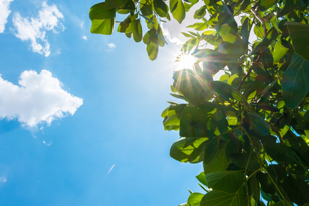 Looking up at sun burst behid tree leaf with cloud and blue sky in nice weather day.