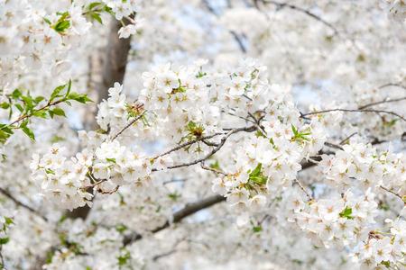 Close up white sakura flower blossom on tree in spring seasonal,natural background. Standard-Bild - 118844652