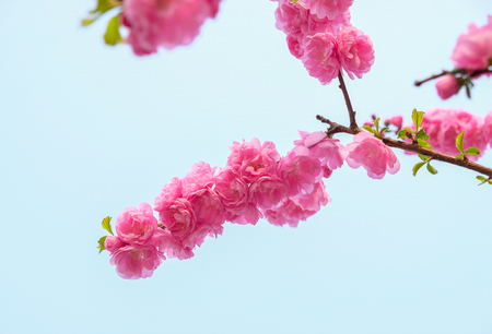 Close up pink plum flower blossom branch at blue sky in spring seasonal,natural background.dramtic tone filter Standard-Bild - 118844653