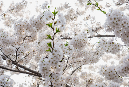 Close up white sakura flower blossom on tree in spring seasonal,natural background. Standard-Bild - 118844655