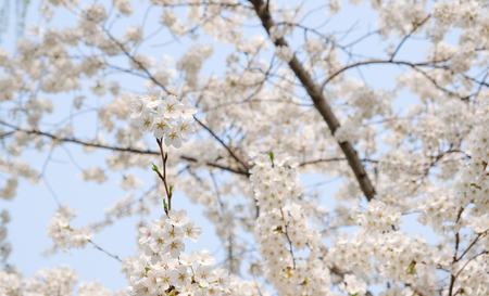 Close up white sakura flower blossom on tree in spring seasonal,natural background. Standard-Bild - 118844658
