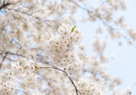 Close up white sakura flower blossom on tree in spring seasonal,natural background. Standard-Bild - 118844659
