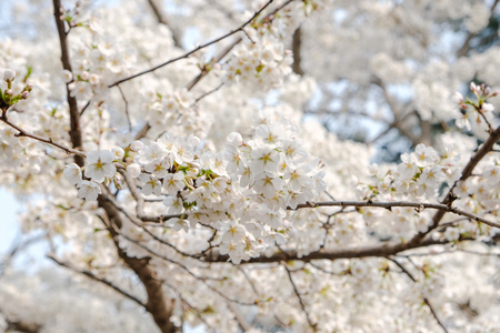 Close up white sakura flower blossom on tree in spring seasonal,natural background. Standard-Bild - 118844660