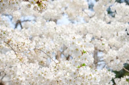 Close up white sakura flower blossom on tree in spring seasonal,natural background. Standard-Bild - 118844611