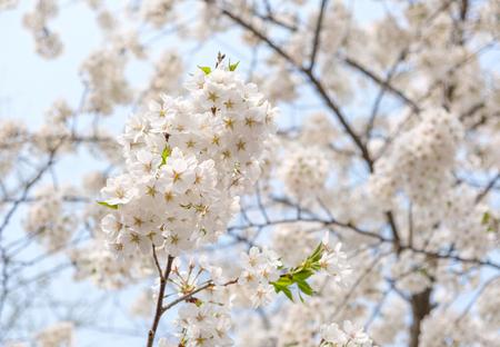 Close up white sakura flower blossom on tree in spring seasonal,natural background. Standard-Bild - 118844614