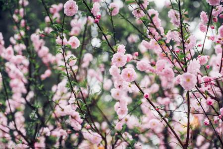Close up pink plum flower blossom on tree in spring seasonal,natural background.dramtic tone filter Standard-Bild - 120919653