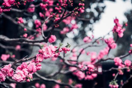 Close up pink plum flower blossom on tree in spring seasonal,natural background.dramtic tone filter Standard-Bild - 120919659