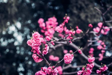 Close up pink plum flower blossom on tree in spring seasonal,natural background.dramtic tone filter Standard-Bild - 120919665