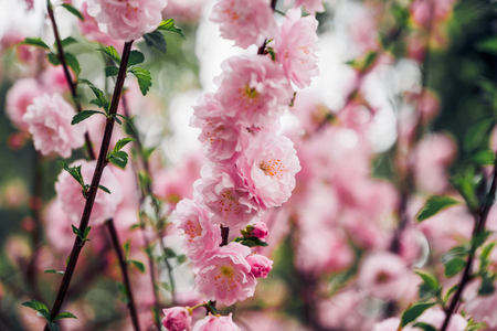 Close up pink plum flower blossom on tree in spring seasonal,natural background.dramtic tone filter Standard-Bild - 120919667