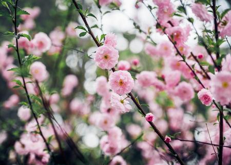Close up pink plum flower blossom on tree in spring seasonal,natural background.dramtic tone filter Standard-Bild - 120919931