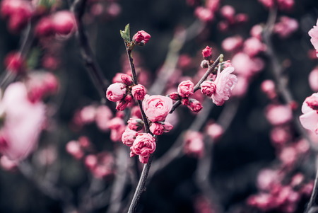 Close up pink plum flower blossom on tree in spring seasonal,natural background.dramtic tone filter Standard-Bild - 120919935
