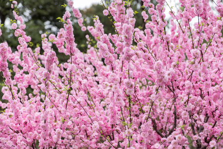 Close up pink plum flower blossom on tree in spring seasonal,natural background.