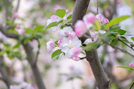 Close up pink sakura flower blossom on tree in spring seasonal,natural background.