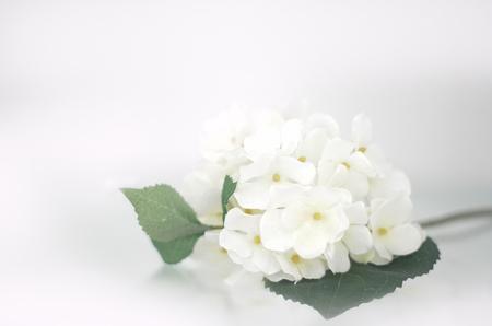 흰색 수국
