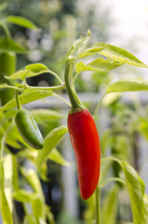 Red pepper on stem in vegetable garden
